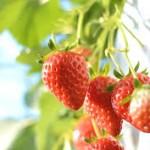 【ここは行きたい!】山梨県フルーツ狩りはここ!おすすめランキングTOP3!